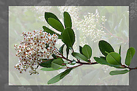 PhotoBotanic Extraction - Heteromeles arbutifolia 'Davis Gold' (Davis Gold Toyon) - A selection of the California native evergreen shrub - spring flowering branch