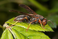 Northern Paper Wasp (Polistes fuscatus) - Female, West Harrison, Westchester County, New York