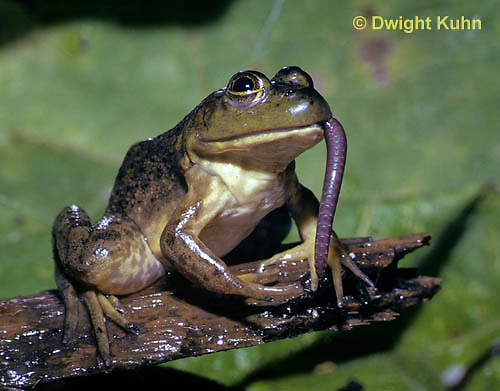 FR09-005z  Bullfrog - eating a worm - Lithobates catesbeiana, formerly Rana catesbeiana