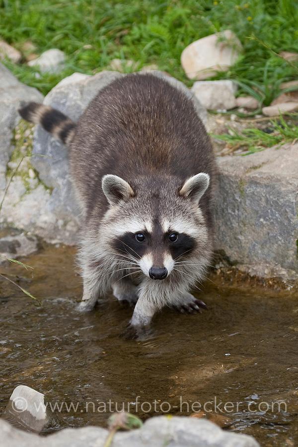 Waschbär, Waschbaer, Wasch-Bär, Procyon lotor, Raccoon, Raton laveur
