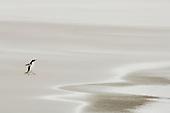 Gentoo Penguin (Pygoscelis papua) walking on a sandy beach, Falkland Islands.