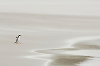 Gentoo Penguin (Pygoscelis papua) walking on a sandy beach, Falkland Islands.