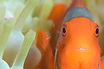 Spinecheek anemonefish (Premnas biaculeatus) in anemone, Volcano crater, Witu Isalnds,Kimbe Bay