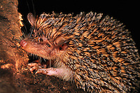 Greater Hedgehog Tenrec (Setifer setosus), Ankarana National Park, Northern Madagascar