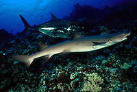 "A whitetip reef shark, Triaenodon obesus, being ""shadowed"" by a white jack, Caranx ignobilis,  Hawaii."