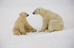Polar bear and cub rest after playing in Hudson Bay, Churchill, Manitoba, Canada.