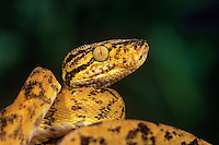 412194015 a captive amazon tree boa corallus enydris enydris coils on a tree  branch - species is native to south america