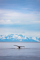 Humpback whale, Prince William Sound, southcentral, Alaska.