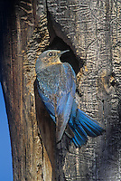 509153022 a wild female mountain bluebird sialia currucoides perches at a cavity nest in the eastern sierras in mono county california