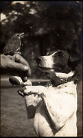 BNPS.co.uk (01202 558833)<br /> Pic: IAA/BNPS<br /> <br /> The inquisitive Bobs on his hind legs looking closely at a tame baby thrush perched on someone's hand.<br /> <br /> Enchanting photographs of children's author Enid Blyton with the pet dog that inspired many of her early works have come to light.<br /> <br /> The black and white photos depict Bobs, Blyton's fox terrier who became a celebrity in his own right after she started writing letters from him in the magazine Teacher's World in 1933.<br /> <br /> The signed letter and the picture postcards were sold by International Autograph Auctions of Nottingham for &pound;200.
