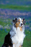 Australian Shepherd<br />