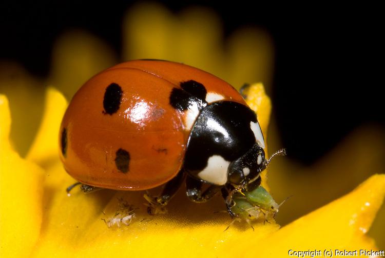 7 Spot Ladybird feeding on aphid, coccinella septempunctata, orange red flower, garden, predator, .United Kingdom....