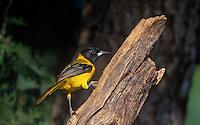 561850002 Audubon's Oriole Icterus graduacauda WILD.Male Perched on Stump.Rio Grande Valley, Texas