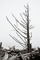 Dead trees and driftwood in foggy conditions, Rialto Beach, Olympic national park, Washington, USA