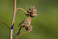 582190006 a wild canyon towhee pipilo fuscus perches on a dead flower stalk in florida canyon near madera canyon arizona united states