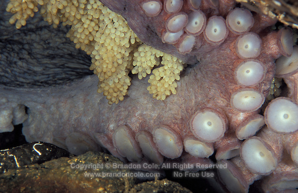nt20. Pacific Giant Octopus (Enteroctopus dofleini) guarding eggs. Pacific Northwest..Photo Copyright © Brandon Cole. All rights reserved worldwide.  www.brandoncole.com..This photo is NOT free. It is NOT in the public domain. This photo is a Copyrighted Work, registered with the US Copyright Office. .Rights to reproduction of photograph granted only upon payment in full of agreed upon licensing fee. Any use of this photo prior to such payment is an infringement of copyright and punishable by fines up to  $150,000 USD...Brandon Cole.MARINE PHOTOGRAPHY.http://www.brandoncole.com.email: brandoncole@msn.com.4917 N. Boeing Rd..Spokane Valley, WA  99206  USA.tel: 509-535-3489