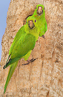 566700065 a mated pair of wild green parakeets aratinga holochlora perch at their cavity nest in a large palm tree on the grounds of quita mazatlan in mcallen texas