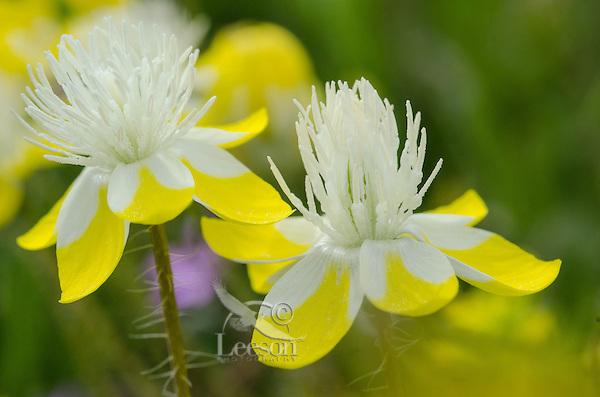 Cream Cups (Platystemon californicus) wildflowers.  California.  March.