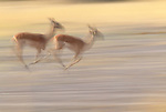 Impalas, Okavango Delta, Botswana