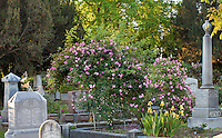 'Phillips & Rix Pink China Climber'  - old heirloom antique rose on trellis in Sacramento Old City Cemetery