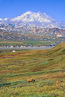 Grizzly bear feeds on the tundra with Denali in the distance, Denali National Park, Alaska