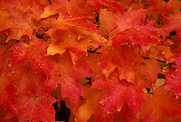 Maple Leaves, Fall Color, Red