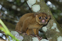 Kinkajou (Potos flavus), Cockscomb Basin Wildlife Sanctuary, Belize