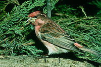 Purple finch perched on log surrounded by evergreen