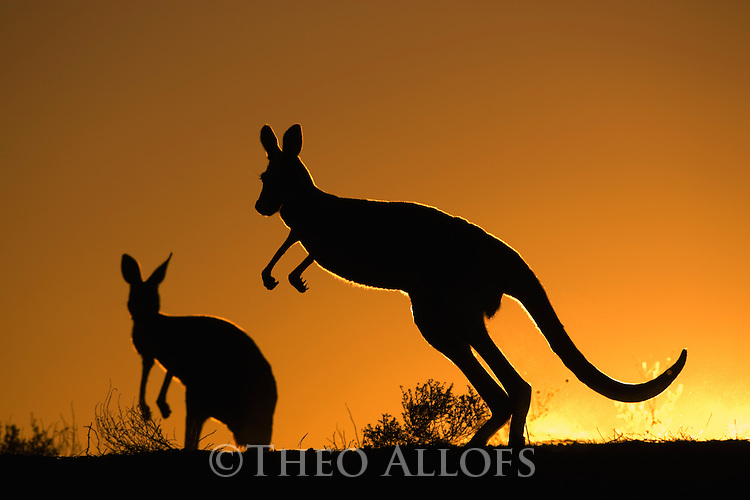 Australia,  NSW, Sturt National Park; red kangaroo silhouettes on ridge at sunset (Macropus rufus); the red kangaroo population increased dramatically after the recent rains in the previous 3 years following 8 years of drought