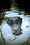 Florida: Everglades Natl Park.   Alligator.  Photo #:  flever103..Photo copyright Lee Foster, 510/549-2202, lee@fostertravel.com, www.fostertravel.com