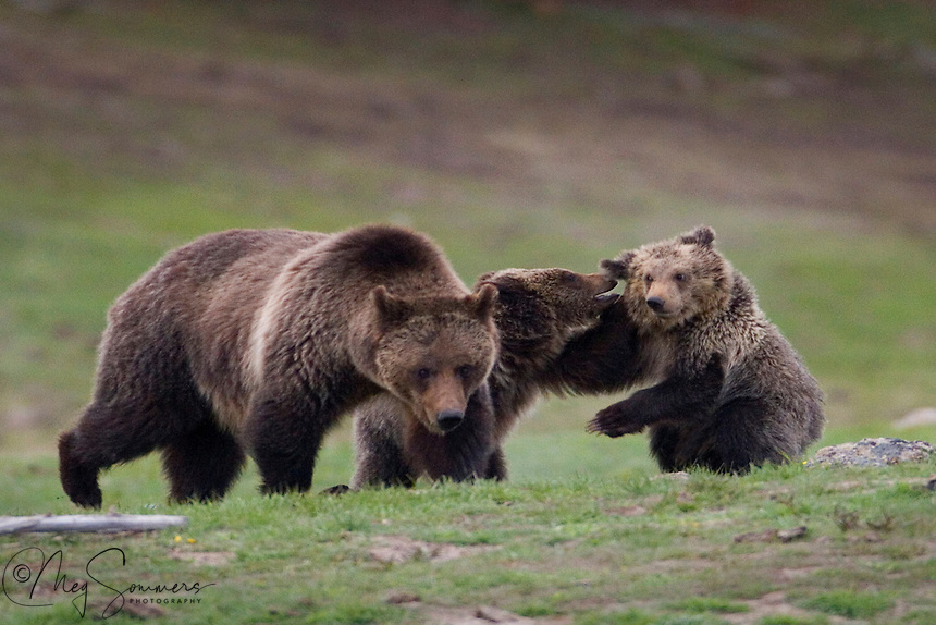 Bear cubs of all natures love to play. They wrestle constantly. The mock fighting actually helps to prepare the young ones for the real thing later in life. These grizzly  bear (Ursus arctos horribilis) cubs seemed to have an on/off switch just like our kittens and puppies. Mom generally seemed to ignore them but actually is paying close attention. Let them step out of line, or if one of them is threatened and you will instantly see how close! Mary Bay, Yellowstone