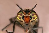 Deer Fly face showing the colorful compound eyes of this biting pest.