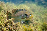 Blackspotted Sunfish<br />