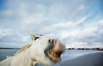 Camargue horse portrait, Ile de la Camargue, France