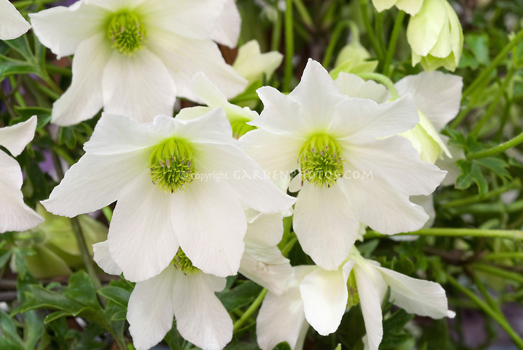 Clematis 'Early Sensation' (Fo/f) white flowering climbing vine