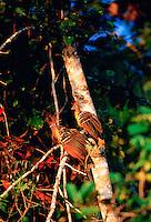 Hoatzin birds at Lake Sandova, Peruvian Rainforest, South America