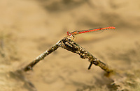 341100001 a wild male desert firetail telebasis salva damselfly perched on a branch in canon grande creek maverick county texas united states
