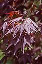 Acer palmatum 'Inazuma', late April.