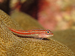 Kenting, Taiwan -- A small striped triplefin surveys the coral reef from its perch on top of a coral head.