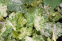 Variegated green and white foliage of Heuchera sanguinea Monet, shade garden plant with ornamental leaves for ground cover