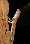 Common Gliding Lizard