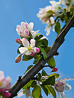 The white and pink flowers of the crab apple tree (Malus)