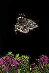 Emperor Moth, Saturnia pavonia, female in flight over heather, flying, high speed photographic technique, mid flight, side, wings open, night, eye spots.United Kingdom....