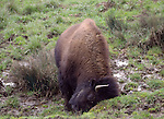 bison digging with head