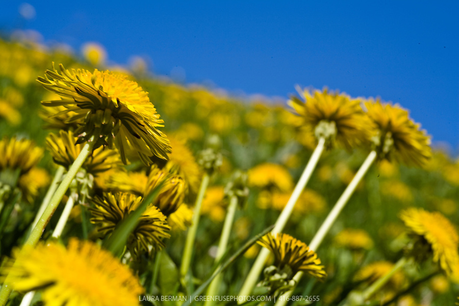 A yellow field of dandelions against a bright blue sky.