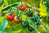 Cherry tomatoes from red to green growing on the vine