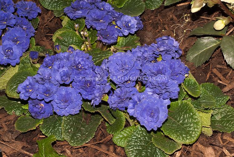 Vivid blue flowers of perennial Primula Belarina Cobalt Blue