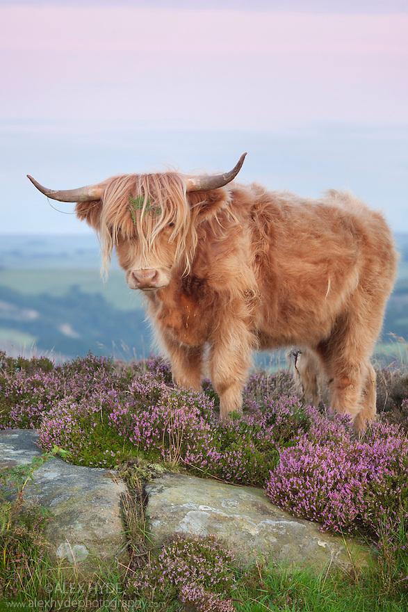 Highland cow in heather on Curbar Edge, Peak District National Park, Derbyshire. August.