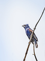 Male Blue Grosbeak perched on limb