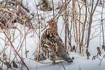 ruffed grouse (Bonasa umbellus), Sax-Zim Bog, Minnesota